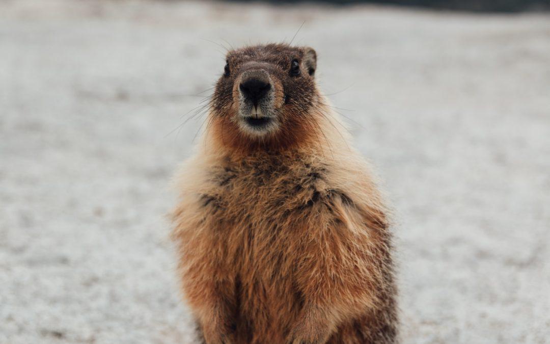 C'est l'histoire de charlotte la marmotte