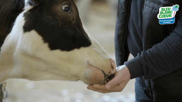 alimentation vache